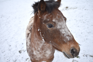 Pony-Stute